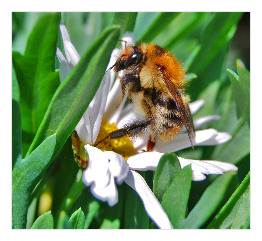 Pelziger Pollensammler