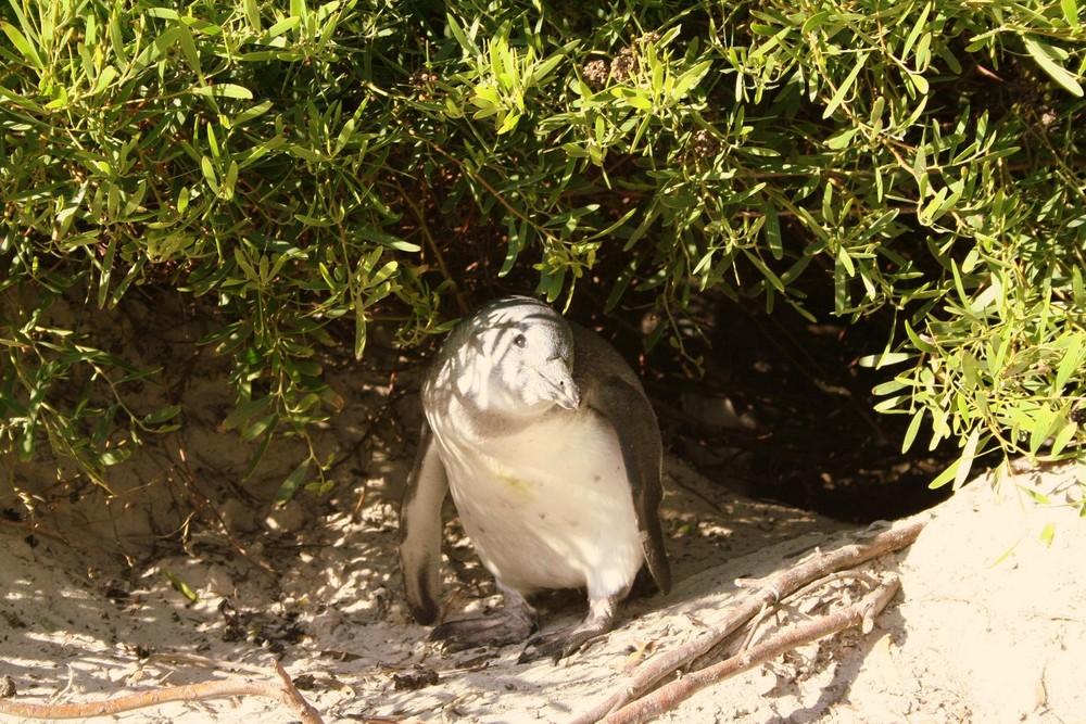Penguin in simon town