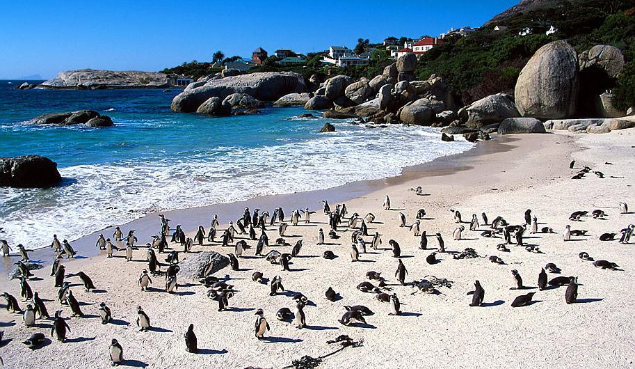 """Penguins at Boulder Beach """