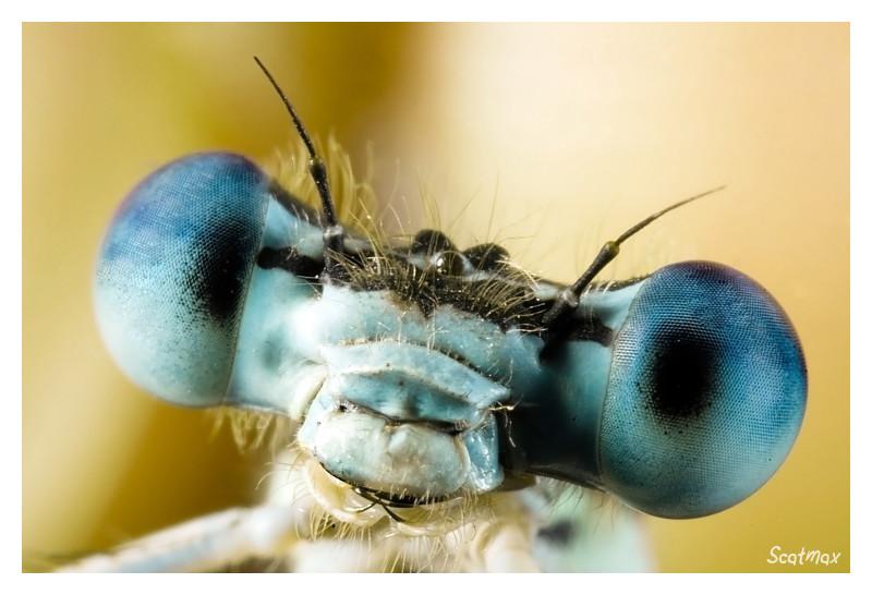 Pennipatte bleuâtre (en Portrait)
