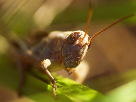 Pennsylvania Wilds Grasshopper
