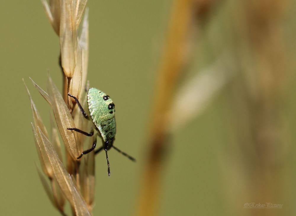 Pentatomidae - Baumwanze-Larve