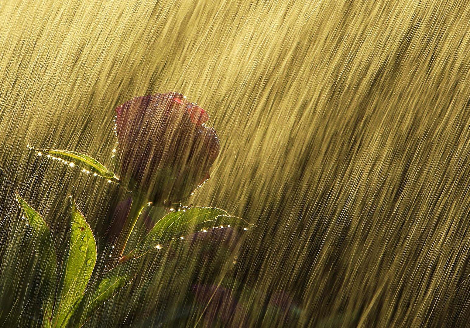 Peonia in the rain (2)