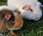 Pepito und Snowie, US-Teddys
