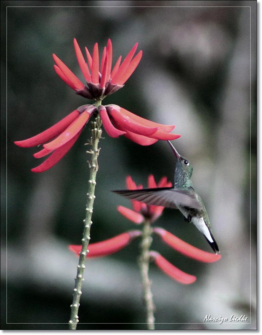 Pequeno colibri