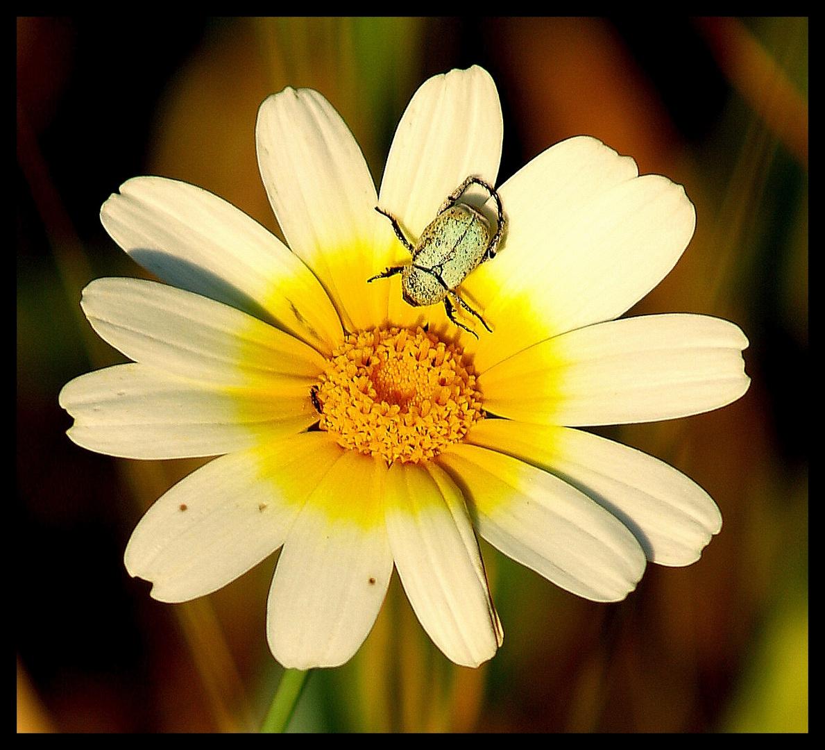 pequeño escarabajo verde en una margarita