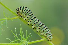 """per non perdere il vizio """"the King larvae"""""""