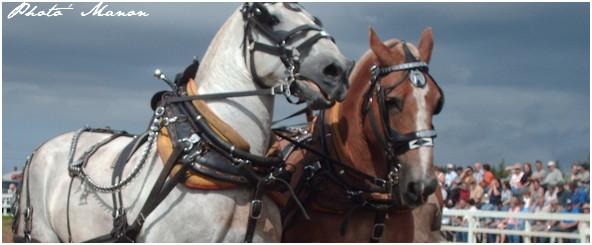 Percheron [Blanc] et trait belge [alezan]