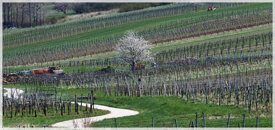 Perchtoldsdorfer Frühling in den Weinbergen