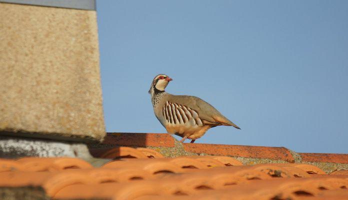 perdrix sur un toit