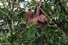 Perezoso en un árbol a orillas del río Sarapiquí (Costa Rica)