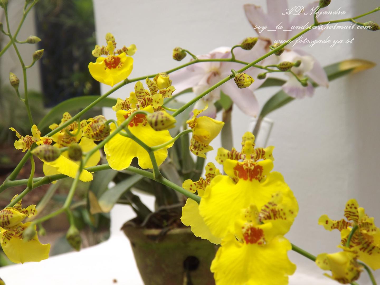 Perfecta Flor de Brazil