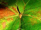 Perfekte Tarnung dieses Weberknechtes (Opiliones) auf dem Mittelpunkt des Weinblattes, auch farblich