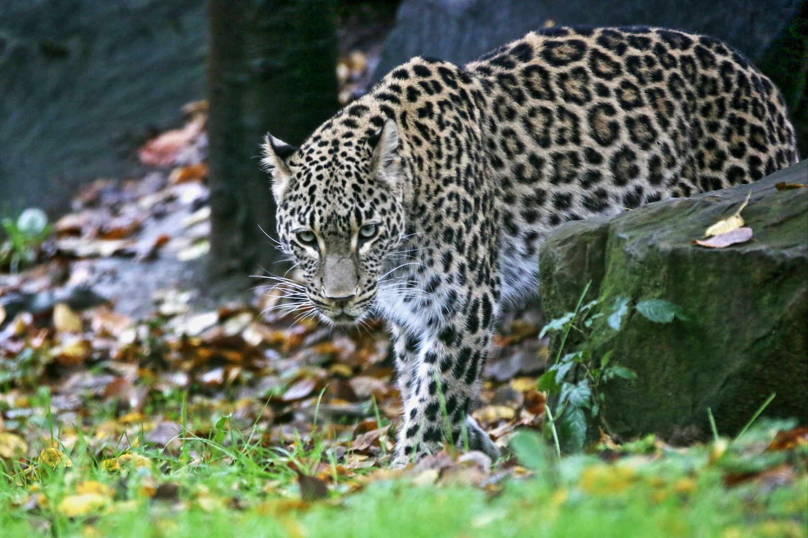 perischer Leopard