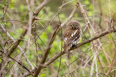 Perl-Sperlingskauz - Pearl-spotted owlet (Glaucidium perlatum)