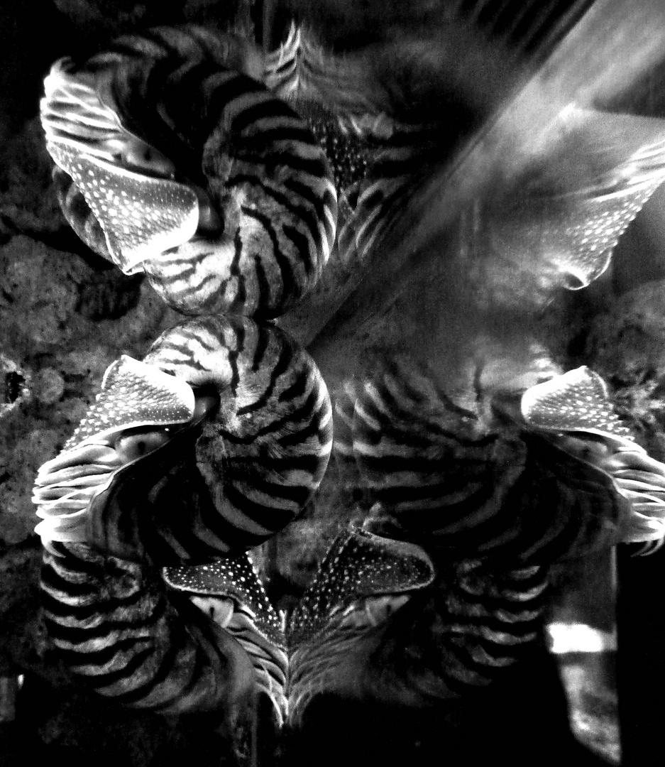 Perlboote im Spiegellabyrinth