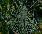 Perlenkette einer Spinne