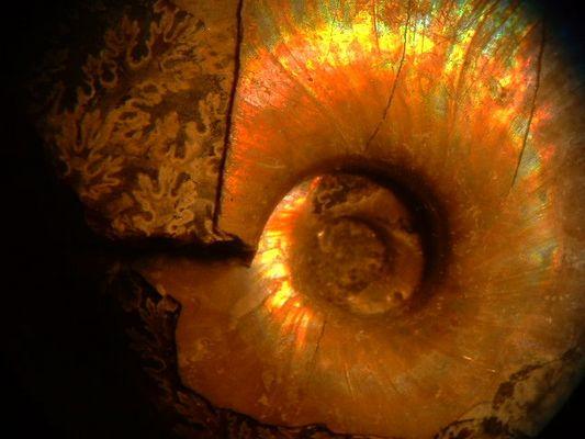 Perlmutt-Ammonit