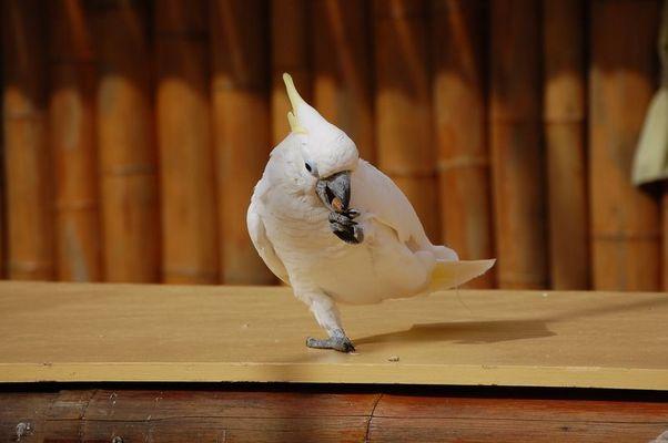 Péroquet blanc
