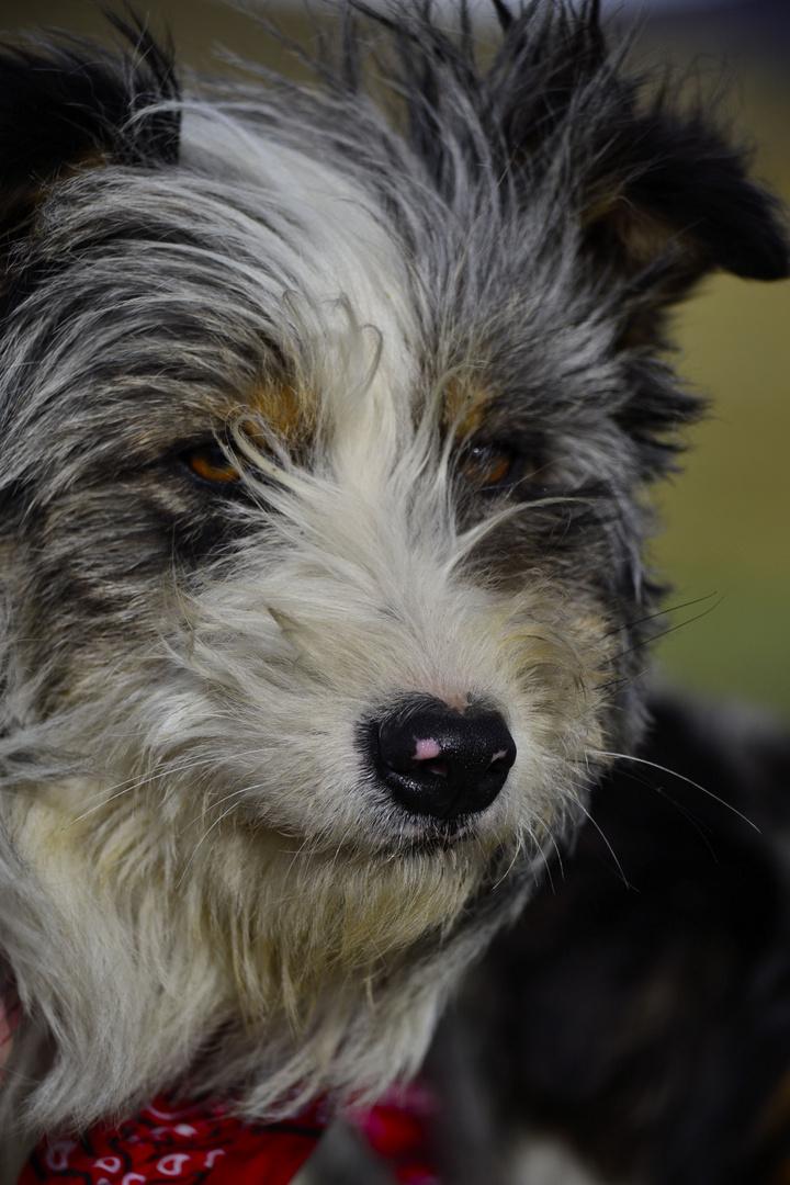 perro CAYIN competencia de perros ovejeros Cerro Castillo 2012 - Torres del Pine - Chile