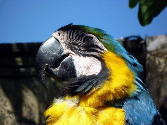 Perroquet de Bali