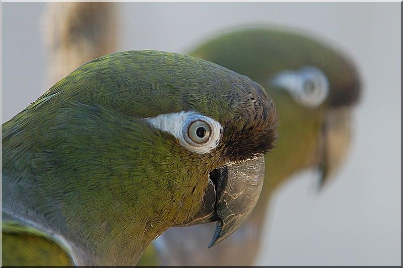 Perroquets !