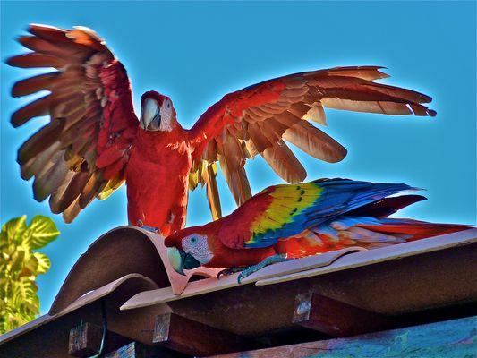 Perroquets (très) sauvages