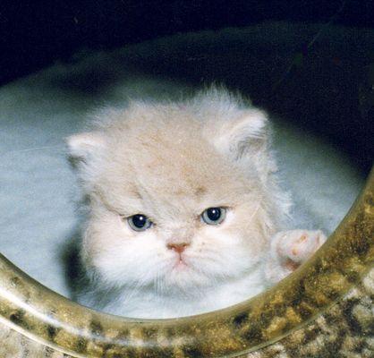 Perser 10 Wochen alt.