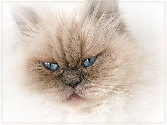 Perserkater – Lilac-Point