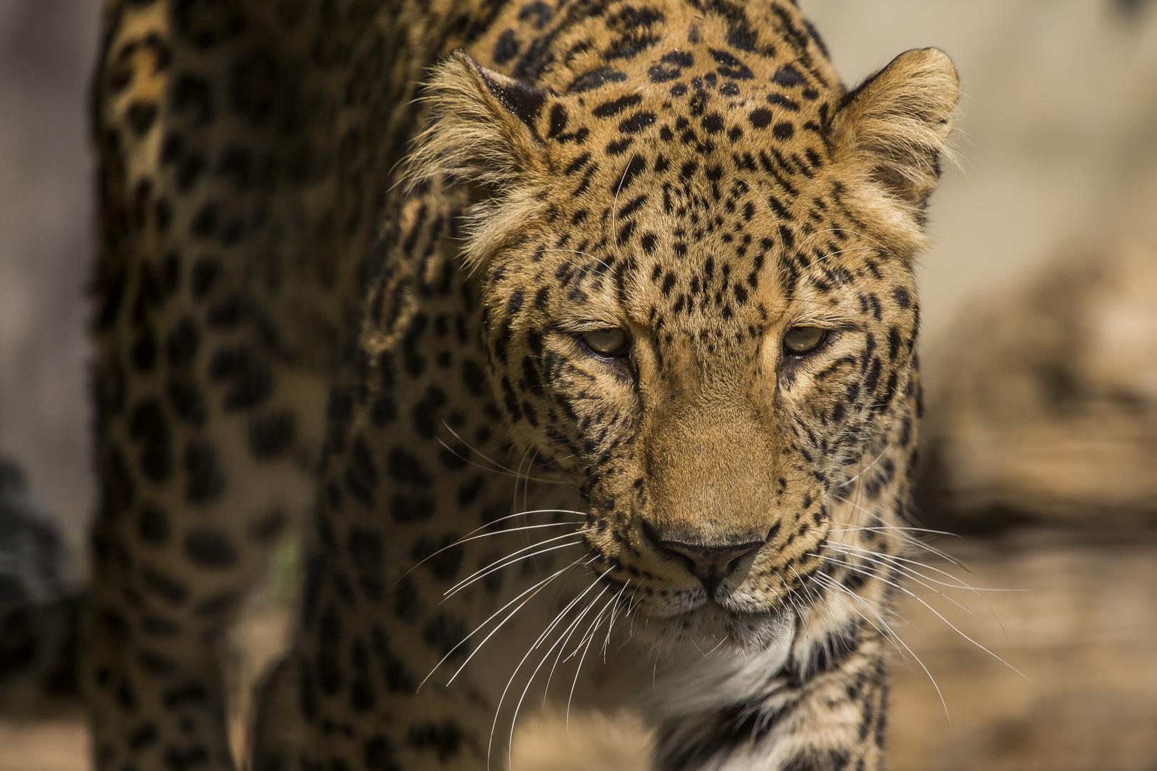 Persicher Leopard