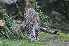 Persische Leopardin