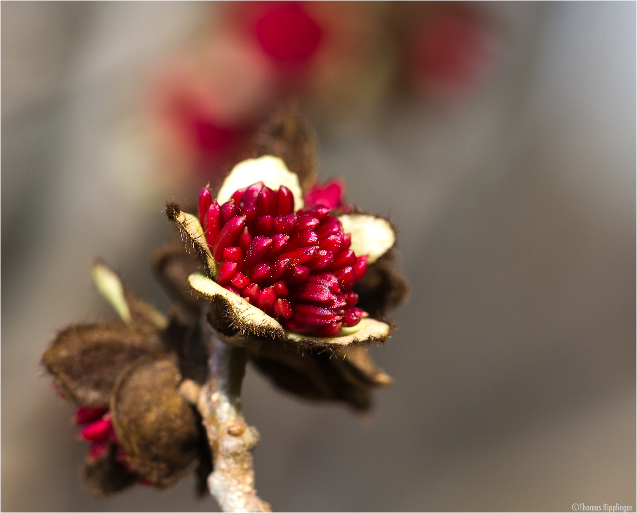 Persischer Eisenholzbaum (Parrotia persica).