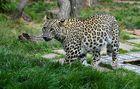 **Persischer Leopard**