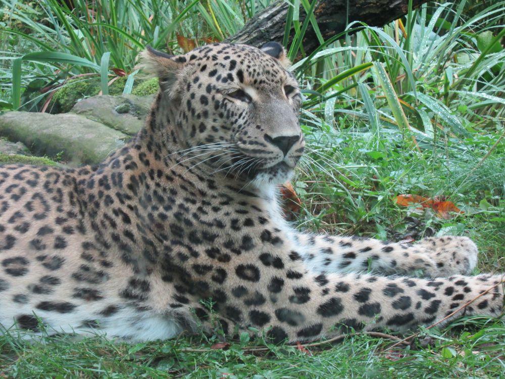 Persischer  Leopard im Kölner Zoo