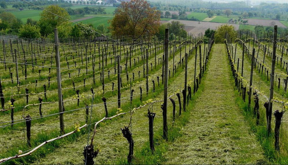 perspective sur les vignes en ''éclosion''