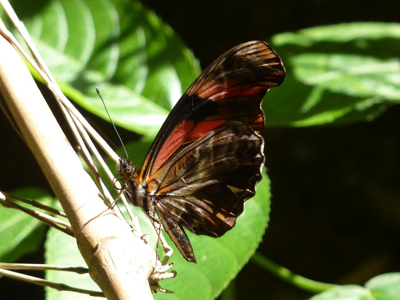 Peruanischer Schmetterling