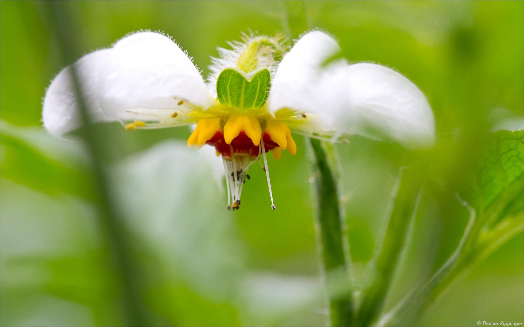 Peruanisches Brennkraut (Loasa tricolor)..