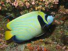 pesce angelo imperatore con gamberetti pulitori