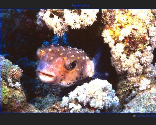 Pesce Istrice - (Diodon Hystrix)
