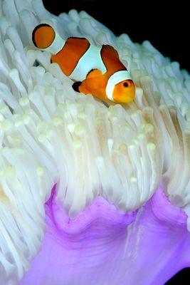 Pesce pagliaccio (Amphiprion ocellaris) su anemone bianco.