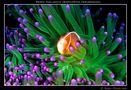 Pesce pagliaccio (Amphiprion perideraion) su anemone verde di Adriano Morettin