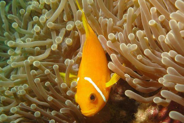 Pesce pagliaccio delle Maldive