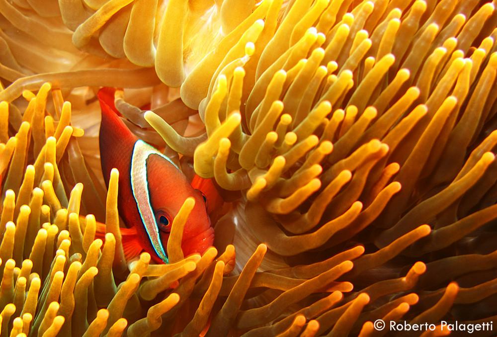 Pesce pagliaccio di clark amphiprion clarkii foto for Pesce pagliaccio foto