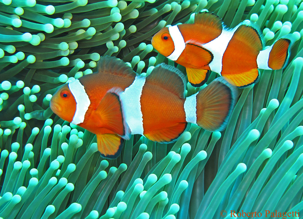 pesce pagliaccio occidentale amphiprion ocellaris foto