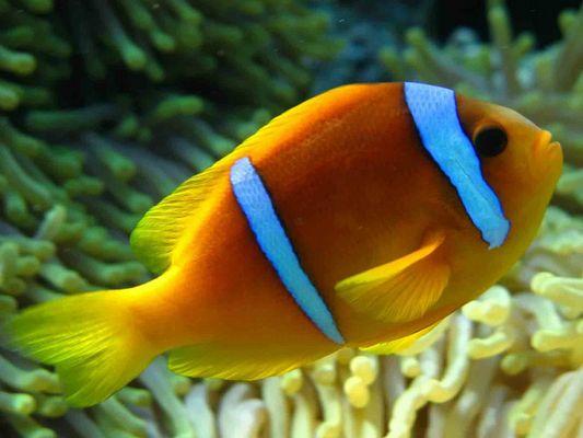 Pesce Pagliaccio - St. John Reef - Mar Rosso - Maggio 2007