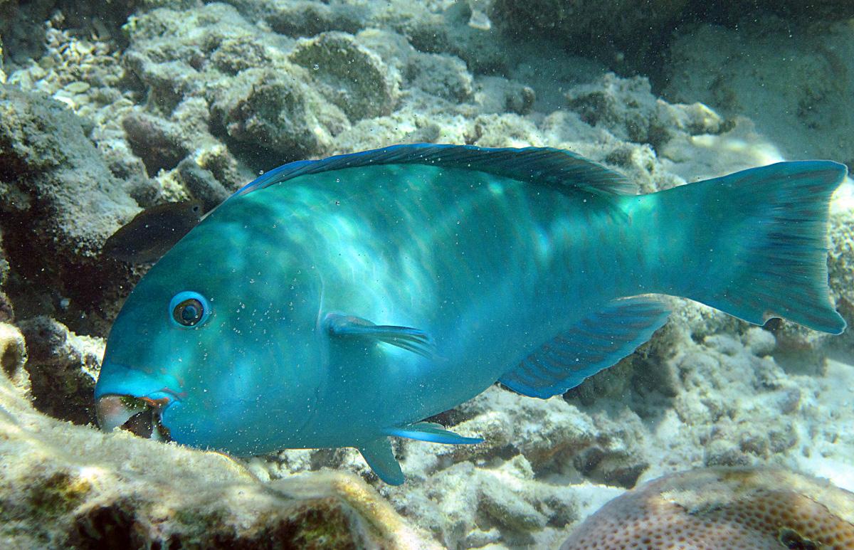 Pesce Pappagallo maldiviano