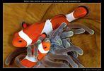 Pesci pagliaccio (Amphiprion ocellaris) con gamberetto (periclimenes tosaensis)
