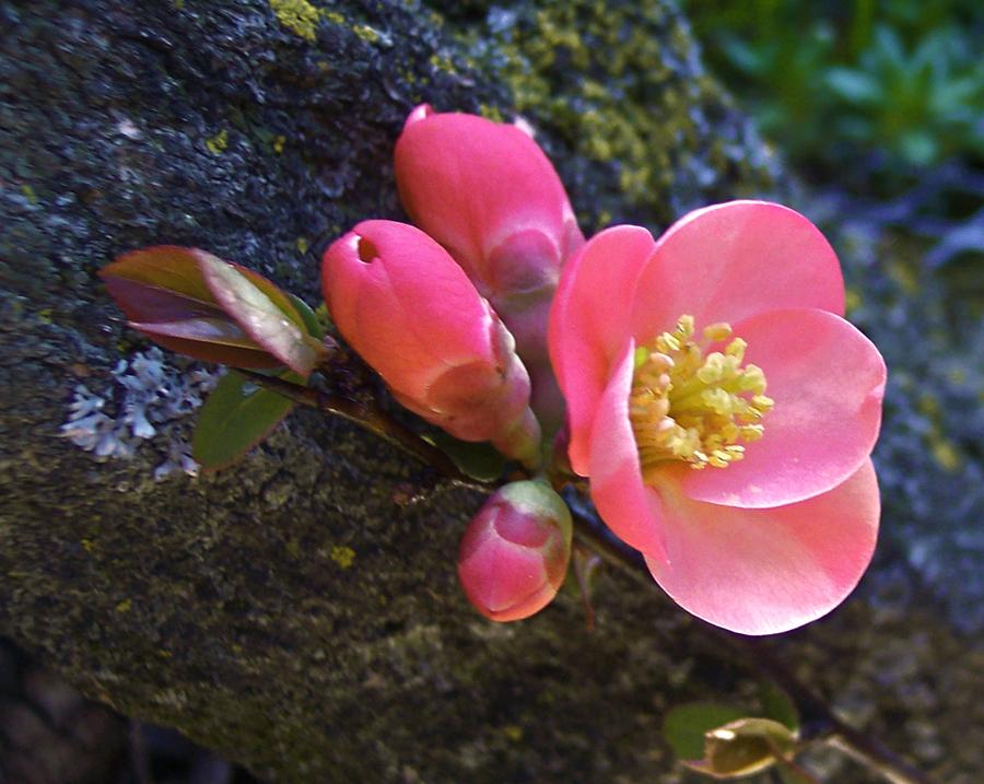----- pesco in fiore -----