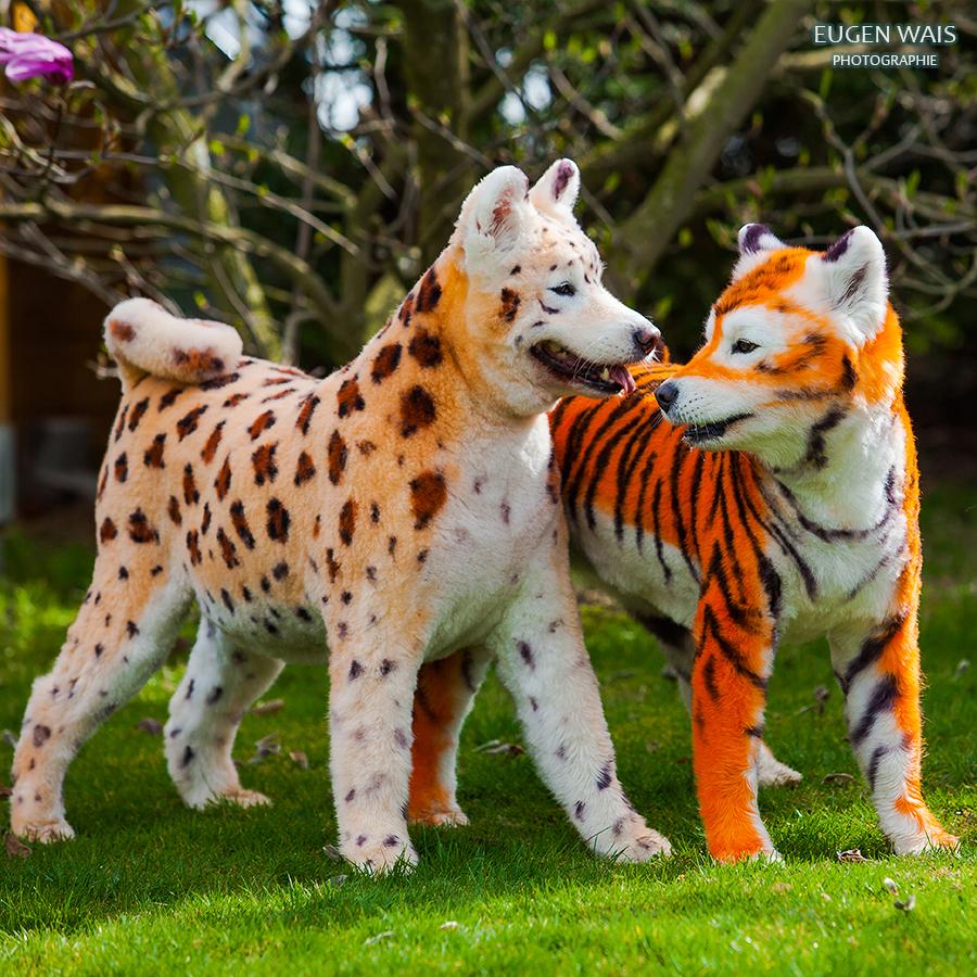pet grooming. Samoyed dog
