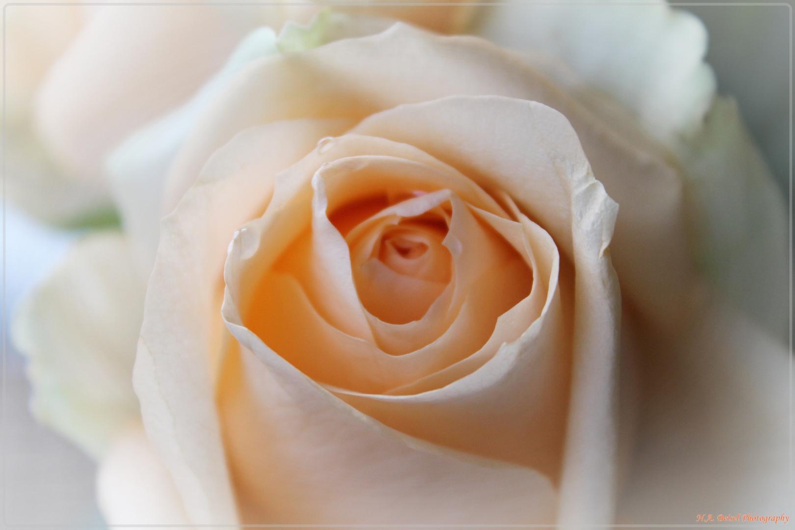 Petal Rose